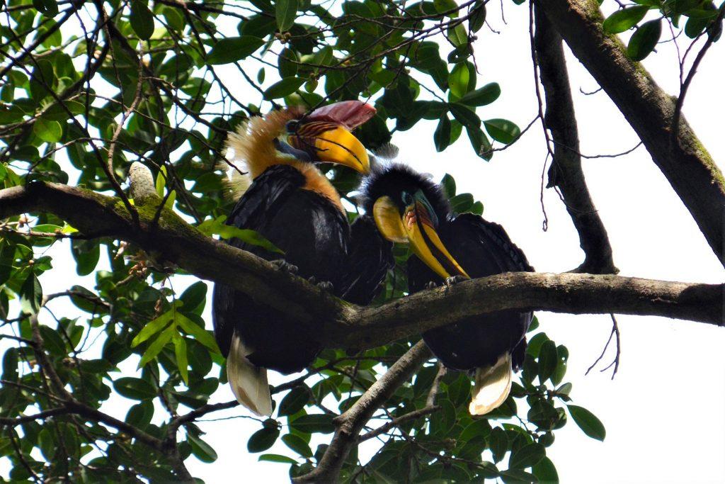 explore-sulawesi-hornbills