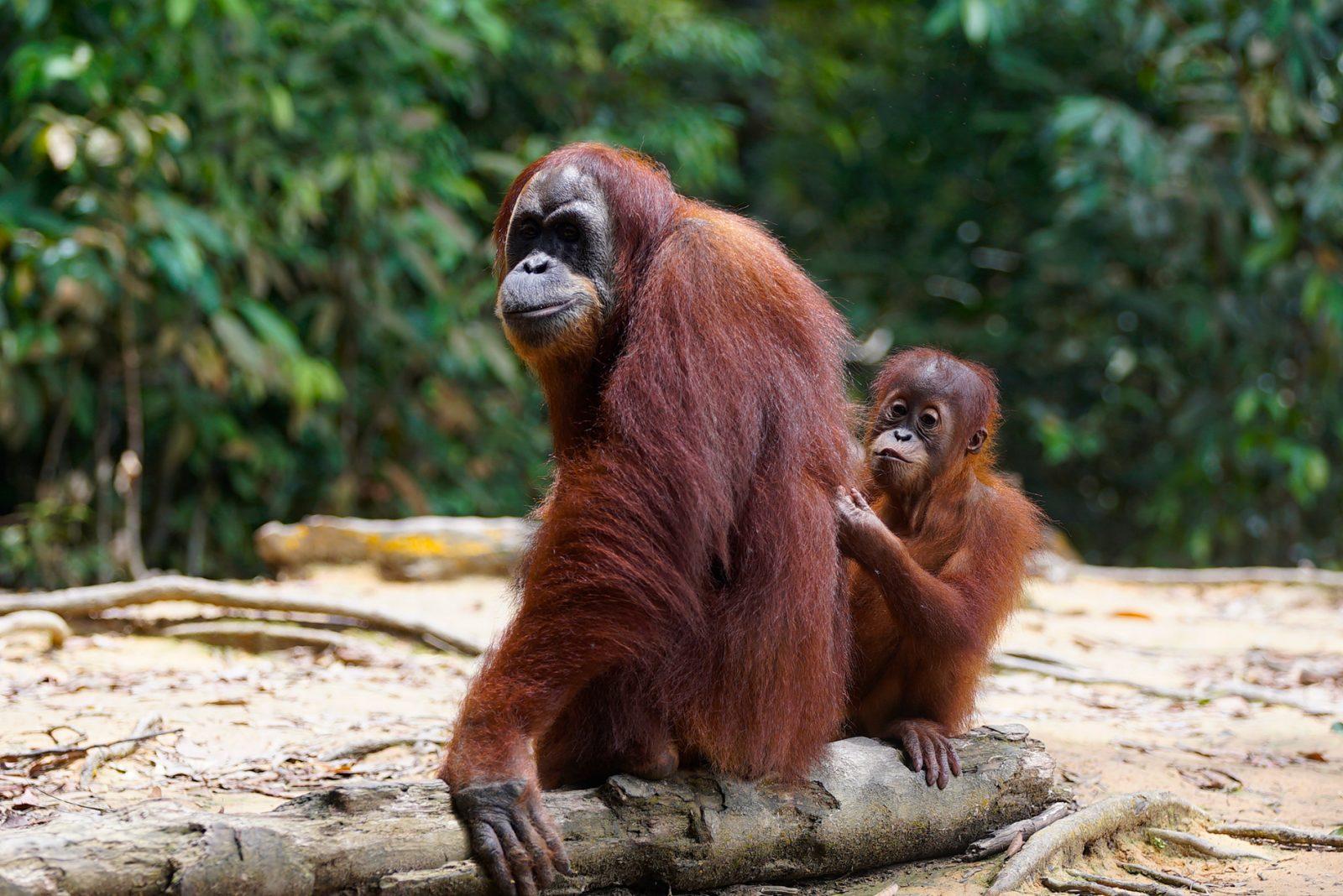 【スマトラ島】オランウータンと7種類の霊長類を探す旅