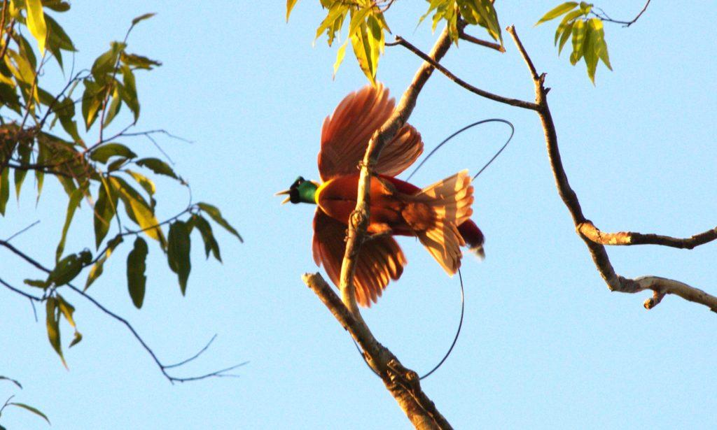 explorepapua-red-birdofparadise