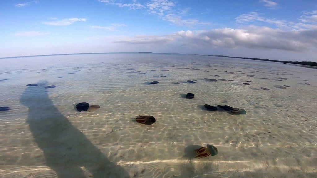 ケイ諸島のクラゲ